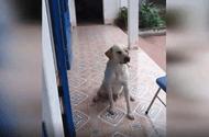 Tin tức - Cậu chủ nhờ chó trông hộ miếng giò tẩm thuốc độc và cái kết