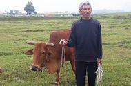 Tin tức - Chỉ có ở Thanh Hóa: Chăn trâu bò phải đóng phí cỏ