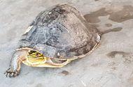 Tin tức - Sóc Trăng: Một thầy giáo bỏ tiền mua lại rùa hộp quý hiếm rồi phóng sinh