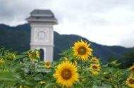 Kinh doanh - Đồi hoa hướng dương khổng lồ hút du khách về chân núi Fansipan