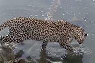 Tin thế giới - Video: Báo hoa mai thể hiện kỹ năng săn mồi điêu luyện, tóm gọn cá da trơn