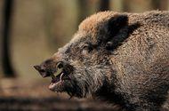 """Tin thế giới - Clip: Lợn rừng bị """"bắn chết"""" bất ngờ sống lại trong ô tô khiến thợ săn """"hồn xiêu phách lạc"""""""