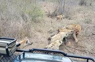 Tin tức - Video: Sư tử bất lực nhường xác lợn rừng cho bầy linh cẩu