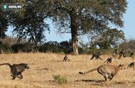 Tin tức - Video: Báo đốm bị khỉ đầu chó rượt đuổi ngã từ cây cao xuống đất