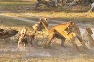 Tin tức - Video: Cái kết bất ngờ cho màn quyết chiến giữa sư tử mẹ và bầy chó hoang