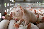 Tin tức - Giá lợn hơi hôm nay 13/8: Mức cao nhất 55.000 đồng/kg