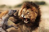 Tin tức - Cuộc chiến sinh tồn: Liều lĩnh tranh mồi của sư tử, đàn linh cẩu nhận cái kết đắng