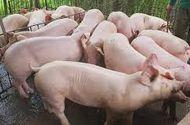 Giá lợn hơi hôm nay 15/8: Miền Bắc giảm nhẹ 500 - 1.000 đồng/kg