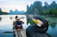 Tin tức - Video: Lạ lẫm nghề đánh cá bằng chim cốc lưu truyền suốt 1.300 năm