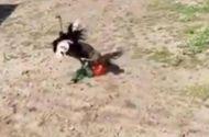 Tin tức - Video: Nam thanh niên bị đà điểu đánh tới mức xương sườn bị rạn