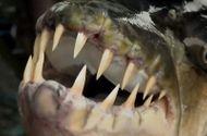 Tin tức - Video: Bắt được cá hổ Goliath ăn thịt tàn bạo nhất châu Phi