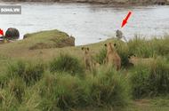 """Tin tức - Video: Sư tử giăng """"thiên la địa võng"""" nhằm bắt sống ngựa vằn"""