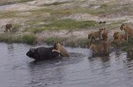 Tin tức - Video: Trâu rừng thông minh, thoát khỏi nanh vuốt của 9 con sư tử trong nháy mắt