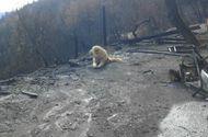 Tin tức - Sau thảm kịch cháy rừng ở Mỹ, chú chó vẫn tìm đường về nhà và nằm đợi chủ