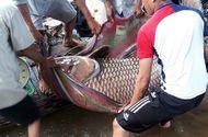"""Ngư dân Vĩnh Long bắt được cá hô vàng """"khủng"""" bán được hơn 300 triệu"""