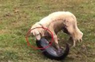 """Tin tức - Video: Chó lao xuống hồ, tung đòn thần tốc bắt gọn cá trê """"khủng"""" trong nháy mắt"""