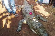 Tin tức - Video: Cá sấu 130 tuổi chết, cả làng bỏ ăn, khóc vật vã