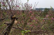 Tin tức - Vụ chủ vườn đào tử vong ở Bắc Ninh: Nạn nhân là người sống khép kín