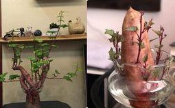 - Dân mạng thích thú với nghệ thuật trồng ''khoai lang sai'' phiên bản bonsai