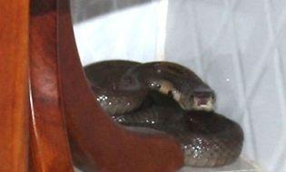 Đời sống - Rợn người những cái chết bất đắc kỳ tử do rắn độc cắn