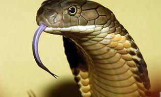 Sức khoẻ - Cách xử trí và sơ cứu hiệu quả khi bị rắn cắn