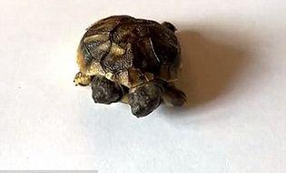 """Chuyện lạ - """"Quái vật"""" rùa hai đầu bất ngờ xuất hiện tại Đan Mạch"""