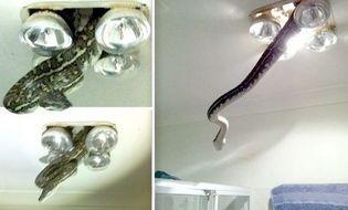 Chuyện lạ - Chủ nhà hốt hoảng vì con trăn khổng lồ lơ lửng trên trần nhà tắm