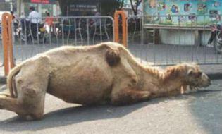 Cộng đồng mạng - Trung Quốc: Phẫn nộ với hai kẻ dẫn lạc đà bị chặt chân để ăn xin