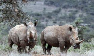 Tài nguyên - Loài tê giác trắng phương Bắc đối mặt với nguy cơ tuyệt chủng