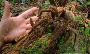 """Chuyện lạ - Bắt được """"quái vật"""" nhện ăn thịt khổng lồ kịch độc"""