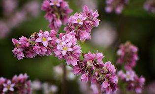 Du lịch - Ngẩn ngơ với vẻ đẹp của những cánh đồng hoa tam giác mạch