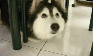 """Giải trí - Clip: Chú chó Husky """"hát"""" gây sốc cộng đồng mạng"""