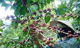 Bản Tin 113 - Video: Báo động nạn hái trộm cà phê ở Lâm Đồng