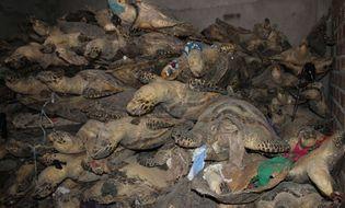 Y tế sức khỏe - Thảm sát rùa biển: Tội ác bao giờ chấm dứt?