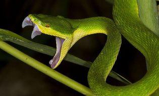 """Đời sống - Video: Điều không phải ai cũng biết để """"đối phó"""" rắn lục đuôi đỏ"""