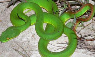 Sức khoẻ - Tại sao chỉ có rắn lục đuôi đỏ xuất hiện cắn người?