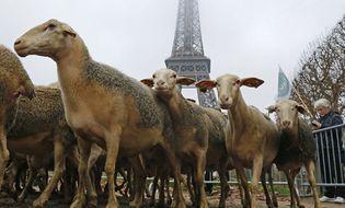 """Thế giới 24h - Đưa 250 con cừu """"biểu tình"""" dưới chân tháp Eiffel"""