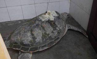 Miền Trung - Một ngư dân bắt được cụ rùa lạ có bộ định vị vệ tinh
