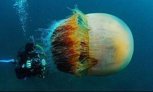"""Đời sống - Video: """"Sốc nặng"""" khi chạm trán sứa khổng lồ"""