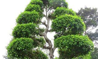 Tài nguyên - Hai cây cổ thụ tại Khu mộ cụ Nguyễn Sinh Sắc là cây Di sản Việt Nam