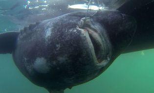 Chuyện lạ - Bắt được cá mập khổng lồ nặng 600 kg bằng… cần câu