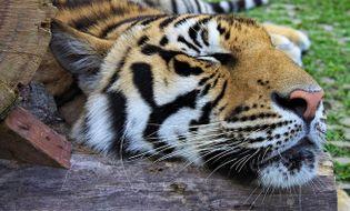 Chuyện lạ - Kinh hãi người đàn ông say rượu vào vườn thú ôm… hổ