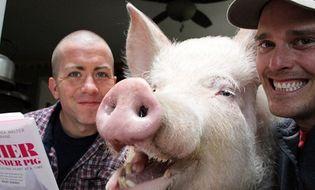 Gia đình - Tình yêu - Kỳ lạ lợn 300kg ăn ngủ với chủ