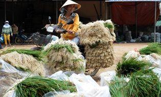 Bí quyết làm giàu - Kiệu tăng giá gấp đôi, nông dân vùng lũ Bình Định vớt vát tiền sắm Tết