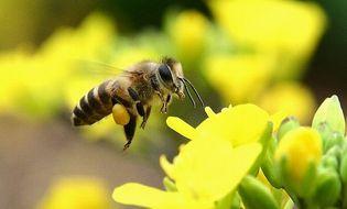 Tư vấn tiêu dùng - Bạn có biết quy trình khai thác và sản xuất Phấn hoa Tam Đảo chuẩn?