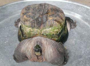 """Sự kiện hàng ngày - Con rùa có hình thù """"siêu dị"""" được trả giá hàng trăm triệu đồng"""