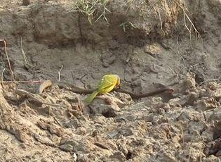 Video: Rắn độc chết thảm dưới cú mổ của chim bách thanh