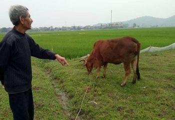 Tin tức - Chăn thả trâu, bò phải đóng phí đồng cỏ: Sẽ xin lỗi và trả lại tiền cho dân