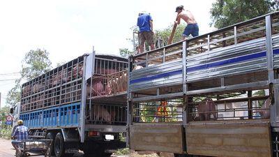 Tiêu hủy 3.115 kg lợn nhập lậu - ảnh 1