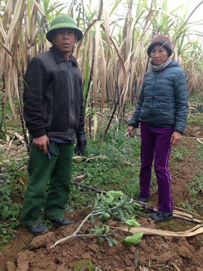 Hộ dân bị kẻ xấu chặt hạ 500 cây cam đúng ngày 28 Tết - ảnh 1